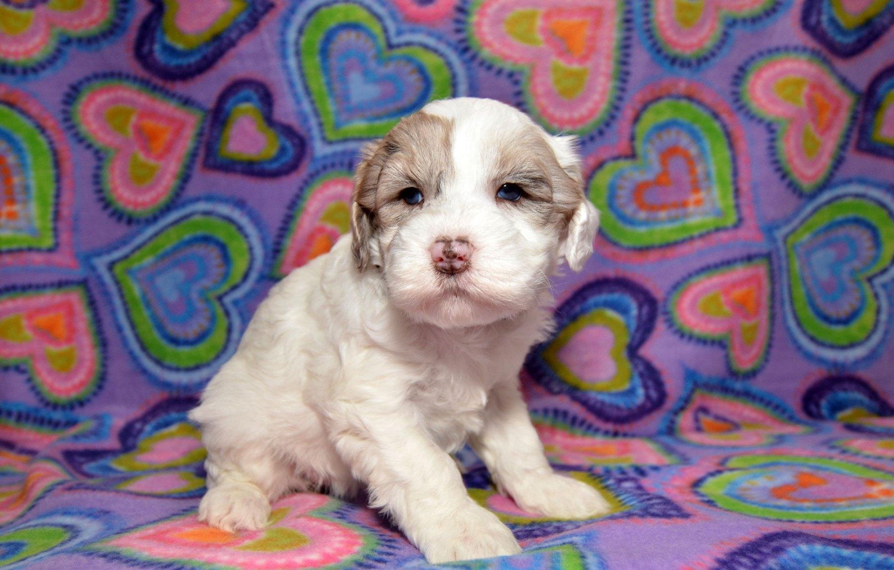 puppies-2-1-10_9435